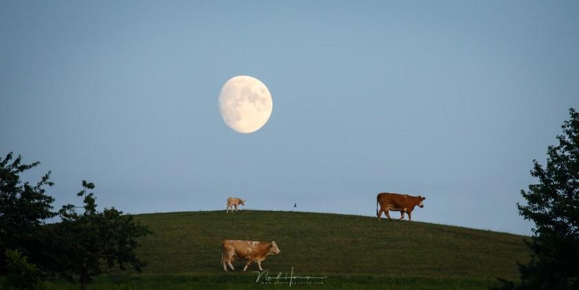 De Maan stond mooi boven deze heuvel, waar de koeien overheen liepen. Een unieke kans .