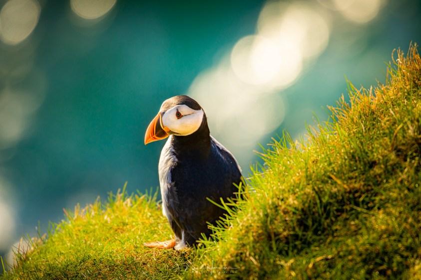 Papegaaiduiker op de Faeröer eilanden