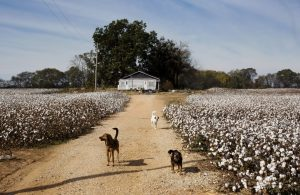 New Albany MS Delta voices cotton field image