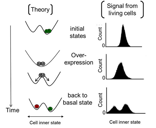 Synthetic biology reveals mechanism of gene-overexpression