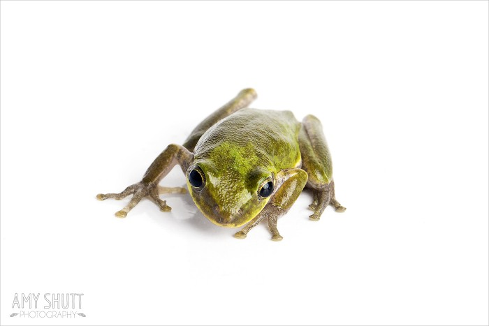 Hyla squirella 'Squirrel Treefrog'