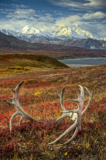 Caribou antlers on the Alaskan tundra in front of Denali (Mt. McKinley), highest mountain in all of North America, Denali National Park, Alaska. © Jerry Ginsberg