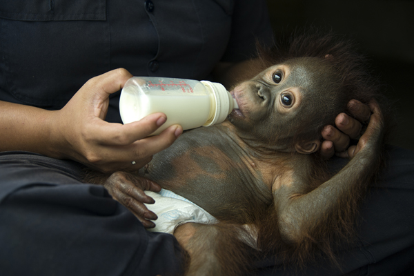 Bornean Orangutan Pongo pygmaeus One year old infant bottle feeding  Orangutan Care Center, Borneo, Indonesia-