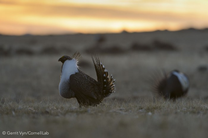 Male Greater Sage-Grouse (Centrocercus urophasianus) displaying on a lek in spring. Sublette County, Wyoming. March. Photo by Gerrit Vyn.