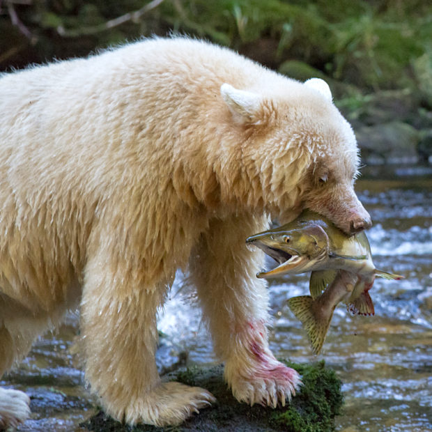 Research suggests that the white fur of the spirit bear gives it an advantage over its black counterparts when fishing for salmon during the day. This may be one reason why this rare genetic trait has persisted over time. © Tim Irvin