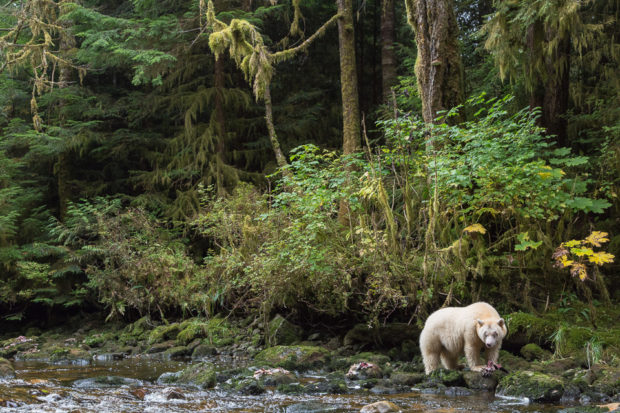 The white fur of a spirit bear against the deep green rainforest is a startling sight. © Tim Irvin