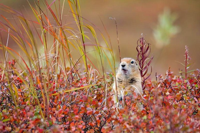 An arctic ground squirrel posing in Denali National Park.  It is sitting surrounded by tundra vegetation at the height of fall color in late August. Photo by Mitch Baltuch.