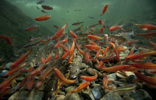 Blazing orange Tennessee shiners and yellow striped saffron shiners densely pack in around a stoneroller on a river chub nest in a small Smoky Mountain National Park river. © David Herasimtschuk