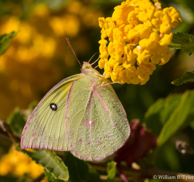 If this is a Harford's Sulphur butterfly, what was it doing in Tucson, Arizona, so far from its home in California? Vacation? Other guesses are a Southern Dogface and even an Orange Sulphur. © William B. Tyler