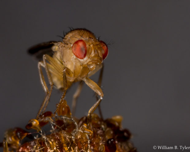 A Drosophila, better known as the common fruit fly. © William B. Tyler