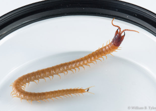 The centipede searched the edges of the filter for an escape route, unfortunately putting the filter ring in every shot. © William B. Tyler