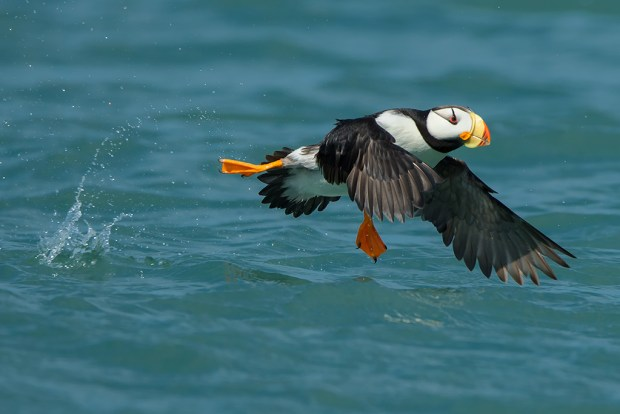 Horned Puffin Walks on Water, Lake Clark National Park, Alaska