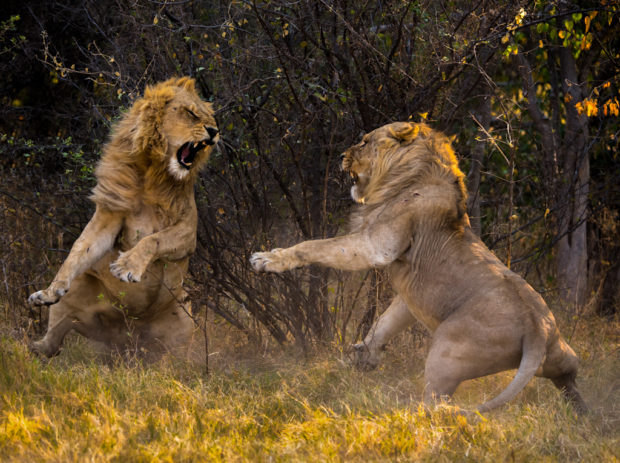 Lions in a brief confrontation that lasted 20 seconds, Botswana. © Barry Cain