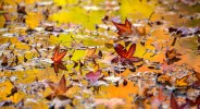 Fall foliage reflecting in leaf-covered lake Twin Lakes area New York Botanical Garden Bronx, NY. f/3.3 200mm.