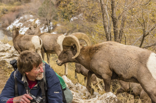 Close encounters with unimpressed bighorn sheep.