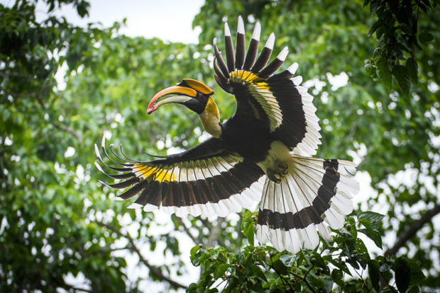 """Great Hornbill, Kaziranga, India"""