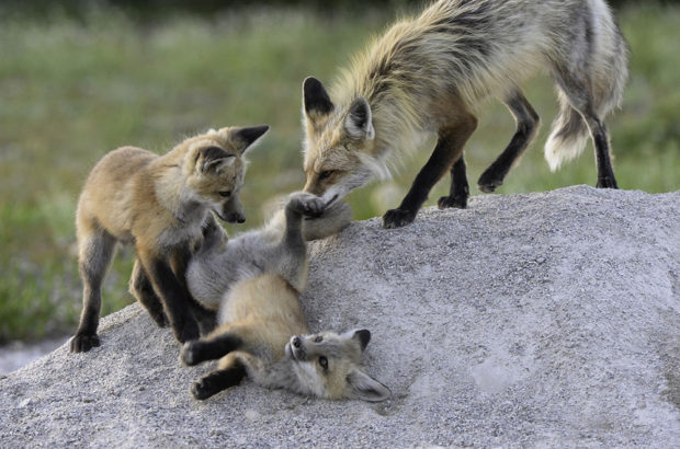 Fox Family won an award in the National Parks Contest.