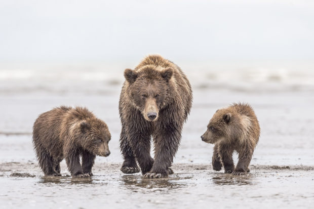 A brown bear sow (Ursus arctos) walks down the beach as her cubs beg to nurse on a cloudy day in Lake Clark National Park, Alaska. © Dawn Wilson.