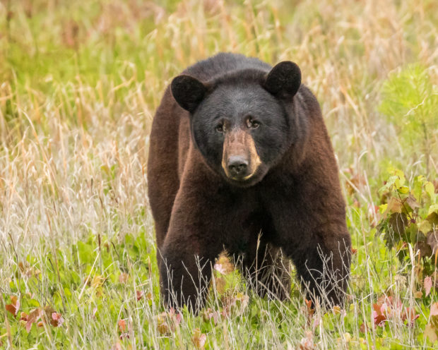 How do you live safely around bears? Ask the Black Bear Project.