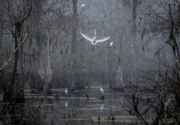 "Showcase 2018 Top 100 winner: ""An egret ascending on a foggy morning, Lake Martin, Breaux Bridge, LA"" © Zeralda LaGrange"