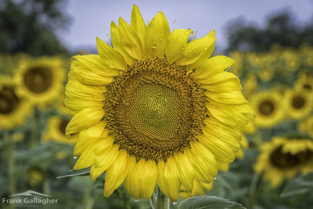 A sunflower field in Canada was trampled by hordes of people seeking a viral selfie.
