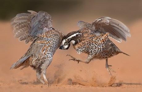 "Showcase 2018 Top 100 winner: ""Fighting Northern Bobwhites, Santa Clara Ranch, South Texas"" © Hector Astorga"