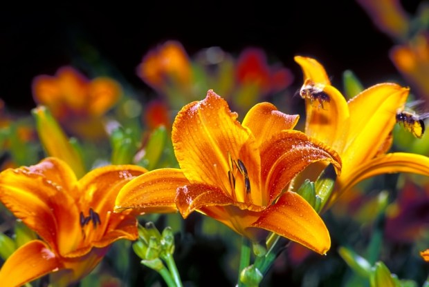 "Honeybees ""photo-bombing"" daylily image."