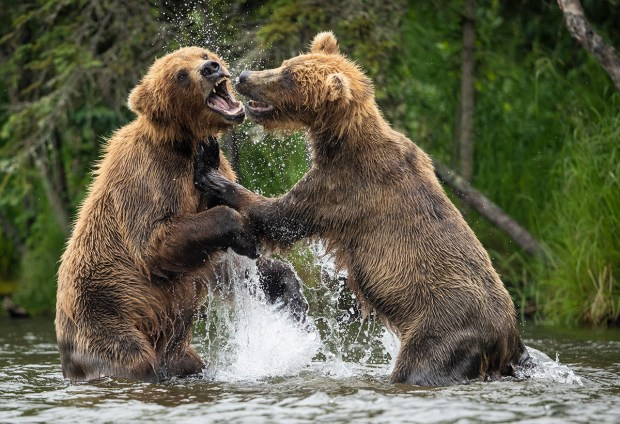 "Showcase 2018 Top 100 winner: ""In the Heat of Battle, Brooks River, Katmai National Park, Alaska"" © Lindsay Donald"