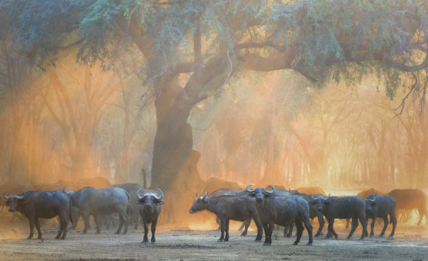 "Showcase 2018 Top 100 winner: ""Buffalo in Orange, Zambia, Africa"" © Rick Beldegreen"