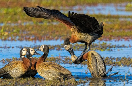 Showcase 2019 Top 100 winner: White-faced Whistling Ducks Fighting, Chobe River, Botswana © Myer Bornstein.