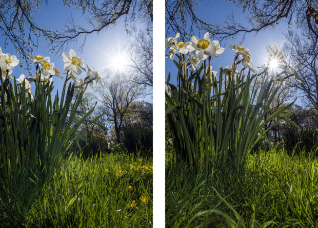 Daffodils in direct sunlight (left) versus daffodils partially blocking the sun (right).