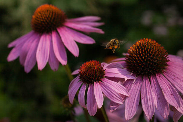 There were many bees buzzing around these purple coneflowers on the sunny summer day that I took this photo. After chasing them around for a while, I opted to take a stationary position, frame my shot, and wait for them to come to me. The results were worthwhile and I particularly like how the tight framing brings you into the world of the bee. © Nicole Landry.