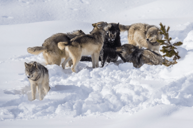 A highly advanced expressive behavior allows for a hierarchy of wolves in the pack.
