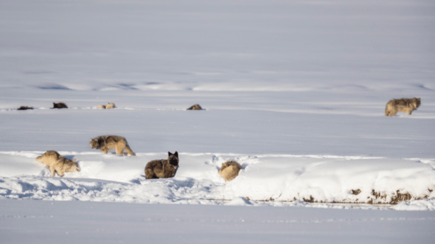 The Wapitis resting in the snow covered Gibbon Meadows.