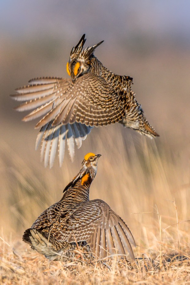 "Showcase 2018 Top 100 winner: ""Greater Prairie Chickens Sparring, Burchard, Nebraska"" © Rona Schwarz."