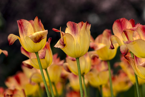 Triumph tulips shot at level. Brooklyn Botanic Garden.