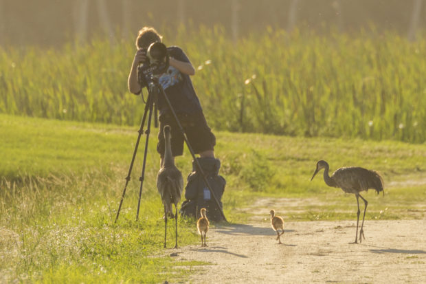 A family of sandhill cranes has no fear of this photographer. Photo © Cathy Illg.