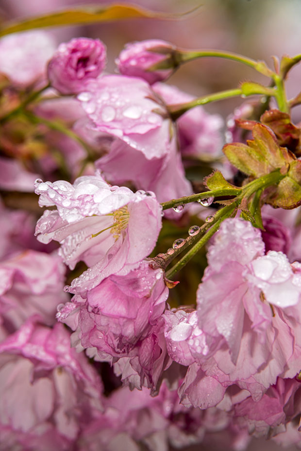 Blossoms covered with large raindrops.