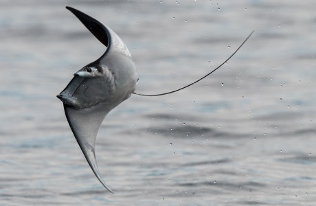 Showcase 2019 Macro/Micro/All Other, First Runner-Up: Mobula Ray © Charles Gangas.