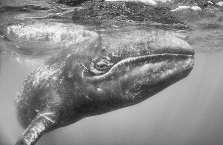 "Showcase 2019 Top 100 winner: ""Baby Gray Whale,"" Guerrero Negro, Baja California, Mexico, © Matthew Meier."