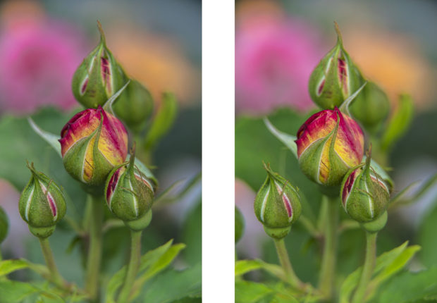 "Shrub rose buds (Rosa) ""Marc Chagall"" New York Botanical Garden Bronx, NY. Polarized shot on right."