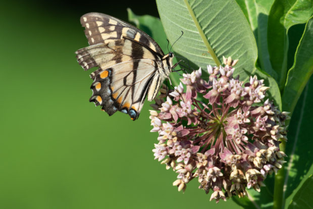An Eastern Tiger Swallowtail feeds on milkweed flowers. This meadow, planted with milkweed, is an important stop on the Monarch butterfly migration, but also provides food and shelter for many other insects, birds, rodents and reptiles all year long. Photo © Frank Gallagher.