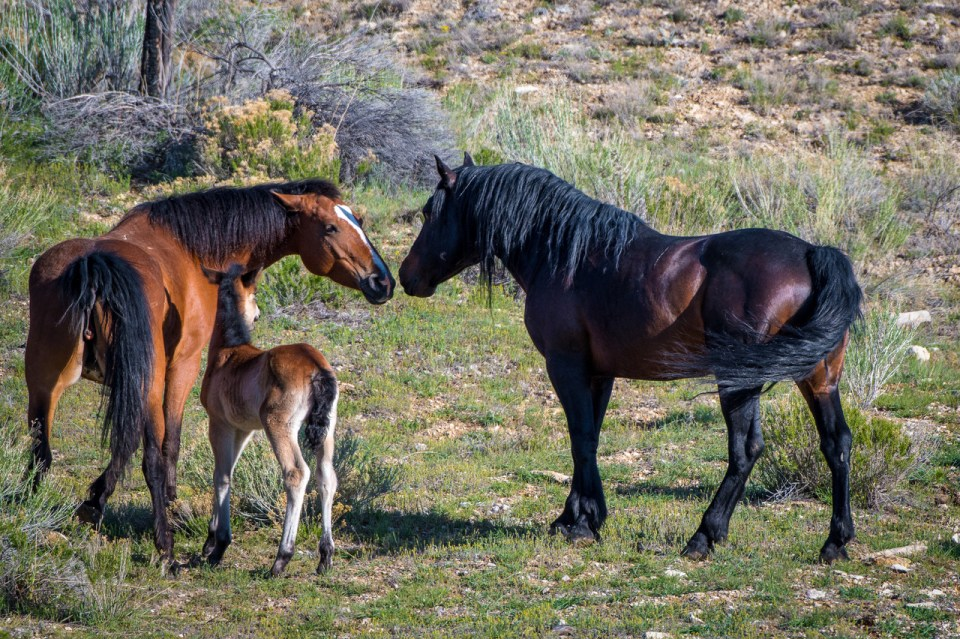 A mother mare and foal are approached and greeted by the herd's stallion in the Piceance-East Douglass Herd Management Area near Meeker, Colorado.