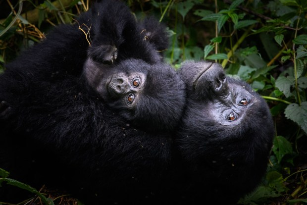 Showcase 2019 Top 100 winner: A Mother's Love, Biwindi Impenetrable National Park, Uganda, Mammals © Peter Balunek.