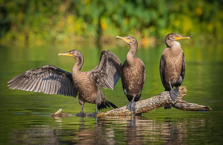 Three juvenile double-crested cormorants (Phalacrocorax auritus) standing on a log on the Silver River in Florida.