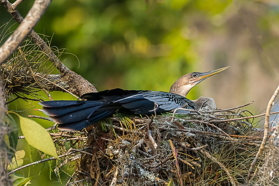 An anhinga (Anhinga anhinga) sitting on a nest above the Silver River in Florida.