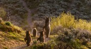 """Showcase 2019 Top 100 winner: """"Female Grizzly Bear on Alert With Cubs, Grand Teton National Park, Wyoming"""" ? Cal McKitrick."""