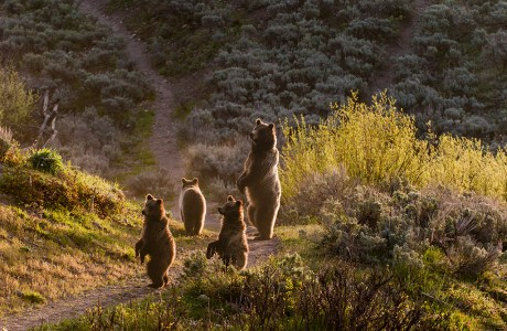 "Showcase 2019 Top 100 winner: ""Female Grizzly Bear on Alert With Cubs, Grand Teton National Park, Wyoming"" © Cal McKitrick."