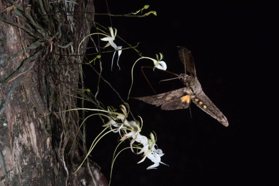 Scientists have long believed that the giant sphinx moth was the only moth species with a proboscis long enough to pollinate the famous ghost orchid. This photo was an attempt to answer the decades long debate and after months of trying and climbing 50-feet in an ancient cypress, I managed to help move the scientific needle. Pictured here, a giant sphinx moth extends its proboscis to drink the nectar from the orchid. Not only did this effort prove that the giant sphinx moth could pollinate the ghost orchid, but other photos across my team have revealed several other species do as well. By identifying the pollinators of this rare and endangered flower, scientists hope to be able to further conservation goals.