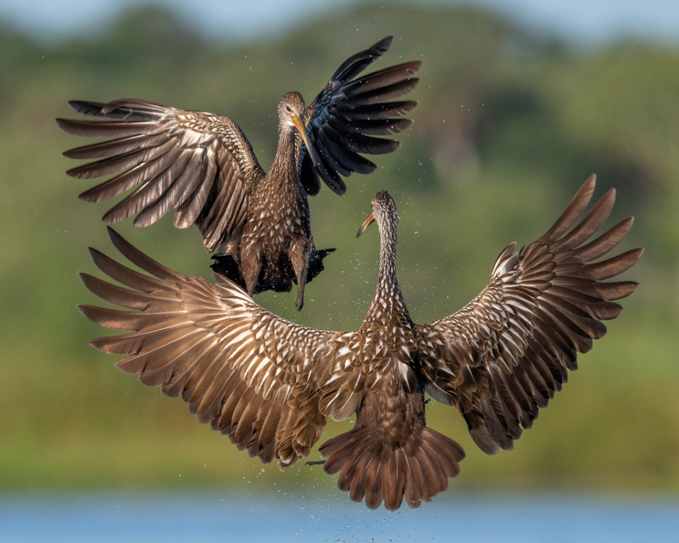 "Showcase 2019 Top 100 winner: ""Limpkin Territorial Dispute, Myakka River State Park, Florida"" © Peter Brannon."
